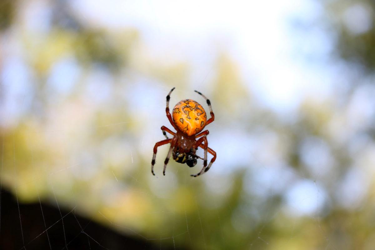 Marbled Orbweaver Spider